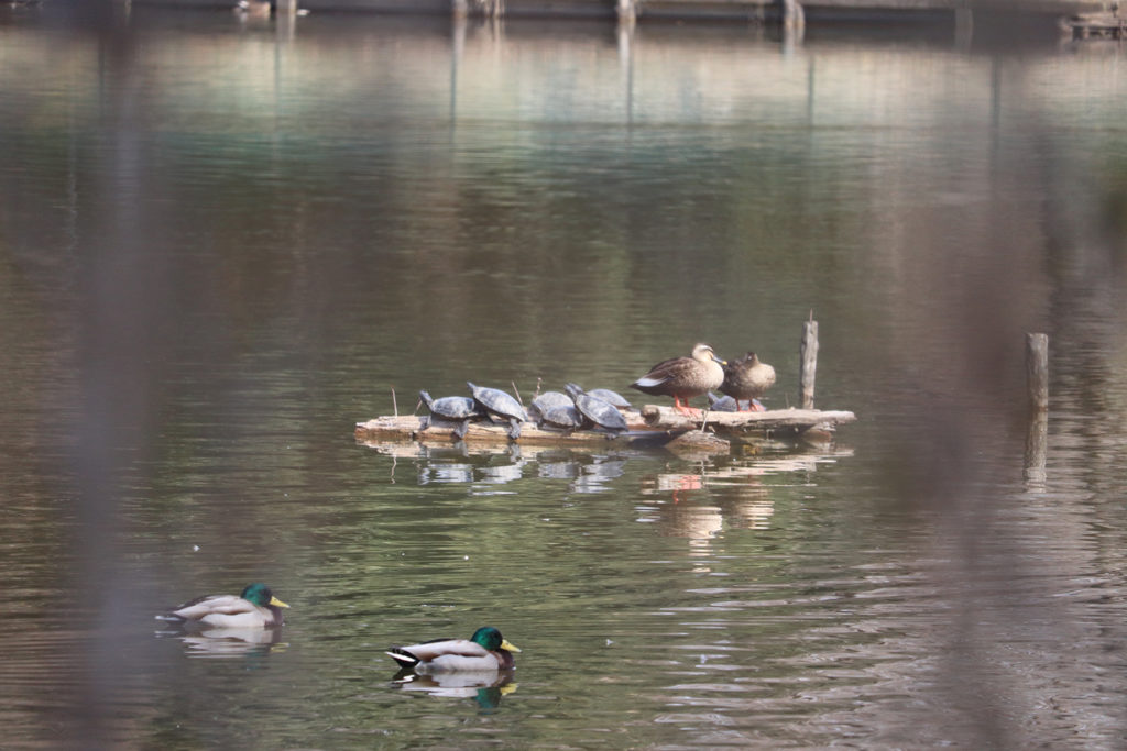 池の亀と鴨