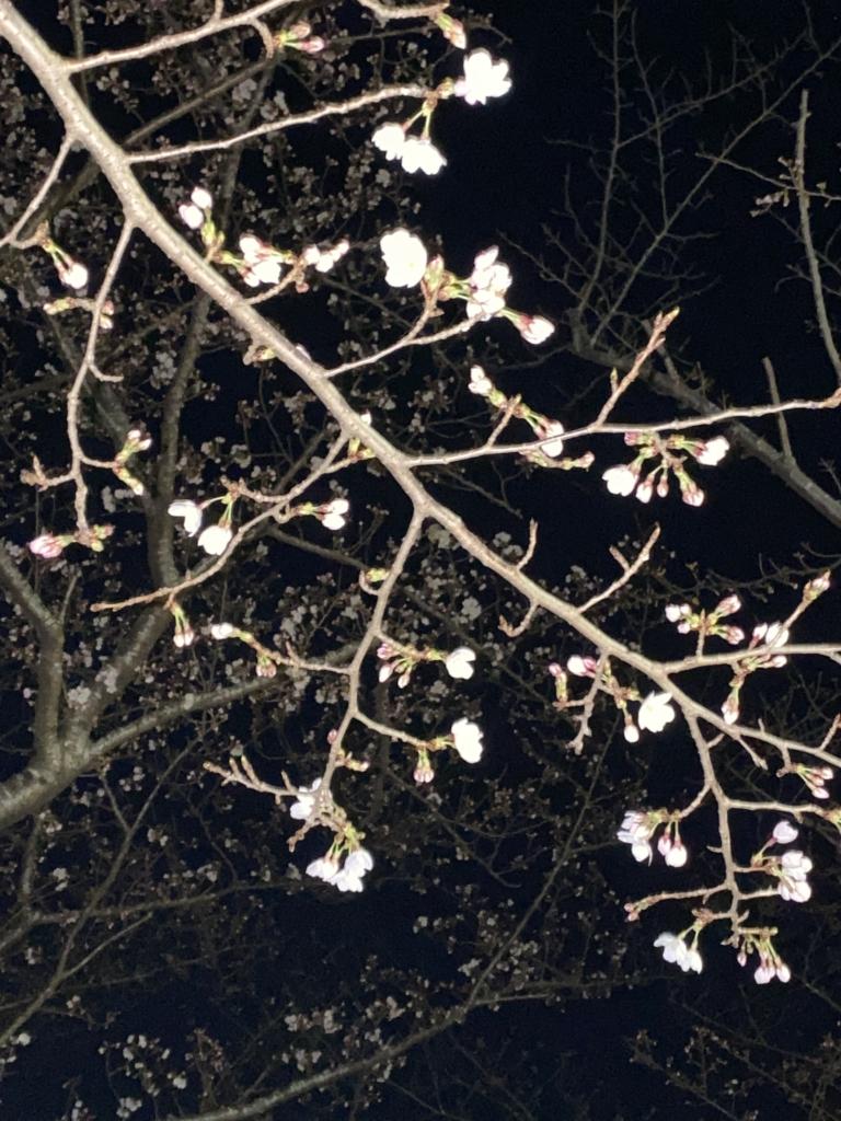 柏ふるさと公園の桜